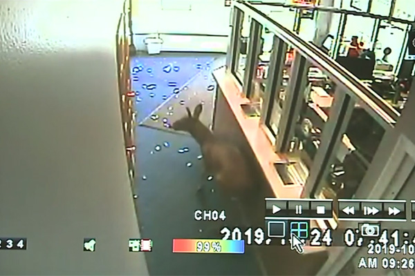 Deer comes crashing through cell phone store's glass window